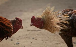 PAKISTAN-SOCIETY-COCK FIGHTING