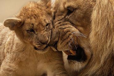 lion-565818_640